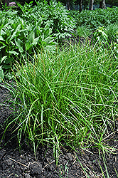Palm Sedge (Carex muskingumensis) at Rice Road Greenhouses
