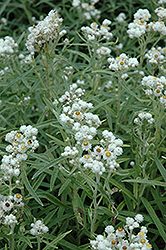Pearly Everlasting (Anaphalis margaritacea) at Rice Road Greenhouses