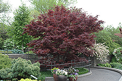 Bloodgood Japanese Maple (Acer palmatum 'Bloodgood') at Rice Road Greenhouses