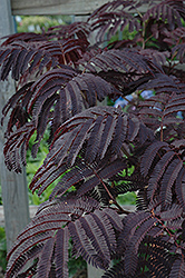 Summer Chocolate Mimosa (Albizia julibrissin 'Summer Chocolate') at Rice Road Greenhouses