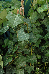 Thorndale Ivy (Hedera helix 'Thorndale') at Rice Road Greenhouses