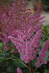Maggie Daley Astilbe (Astilbe chinensis 'Maggie Daley') at Rice Road Greenhouses