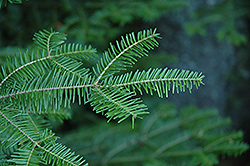 Balsam Fir (Abies balsamea) at Rice Road Greenhouses