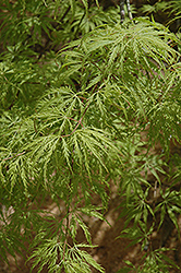Filigree Green Lace Japanese Maple (Acer palmatum 'Filigree Green Lace') at Rice Road Greenhouses
