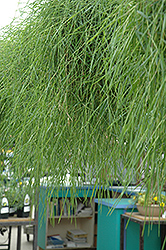Green Twist Trailing Bamboo (Agrostis stolonifera 'Green Twist') at Rice Road Greenhouses