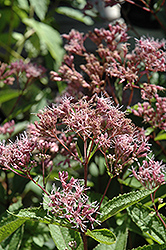 Phantom Joe Pye Weed (Eupatorium maculatum 'Phantom') at Rice Road Greenhouses