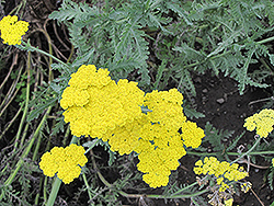 Cloth of Gold Fernleaf Yarrow (Achillea filipendulina 'Cloth of Gold') at Rice Road Greenhouses