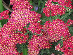 Paprika Yarrow (Achillea millefolium 'Paprika') at Rice Road Greenhouses