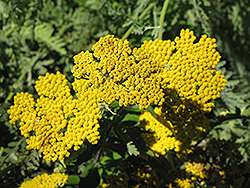 Coronation Gold Yarrow (Achillea 'Coronation Gold') at Rice Road Greenhouses