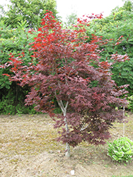Red Emperor Japanese Maple (Acer palmatum 'Red Emperor') at Rice Road Greenhouses