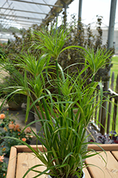 Prince Tut Egyptian Papyrus (Cyperus 'Prince Tut') at Rice Road Greenhouses