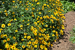 Summer Nights False Sunflower (Heliopsis helianthoides 'Summer Nights') at Rice Road Greenhouses
