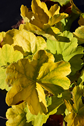 Northern Exposure™ Lime Coral Bells (Heuchera 'TNHEUNEL') at Rice Road Greenhouses