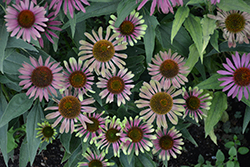 Green Twister Coneflower (Echinacea purpurea 'Green Twister') at Rice Road Greenhouses