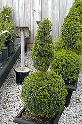 Green Mountain Boxwood (poodle form) (Buxus 'Green Mountain (poodle)') at Rice Road Greenhouses