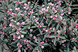 Blue Ice Bog Rosemary (Andromeda polifolia 'Blue Ice') at Rice Road Greenhouses