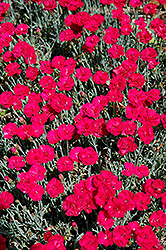 Frosty Fire Pinks (Dianthus 'Frosty Fire') at Rice Road Greenhouses