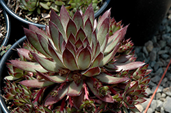 Twilight Blues Hens And Chicks (Sempervivum 'Twilight Blues') at Rice Road Greenhouses