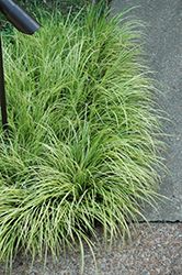 Grassy-Leaved Sweet Flag (Acorus gramineus 'Ogon') at Rice Road Greenhouses