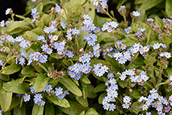 Victoria Blue Forget-Me-Not (Myosotis sylvatica 'Victoria Blue') at Rice Road Greenhouses