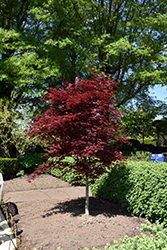 Fireglow Japanese Maple (Acer palmatum 'Fireglow') at Rice Road Greenhouses