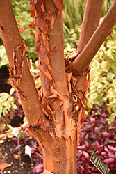 Paperbark Maple (Acer griseum) at Rice Road Greenhouses