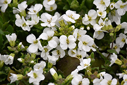 Snowcap Wall Cress (Arabis caucasica 'Snowcap') at Rice Road Greenhouses