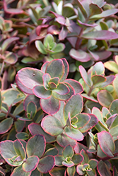 Wildfire Stonecrop (Sedum 'Wildfire') at Rice Road Greenhouses