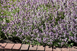 Common Thyme (Thymus vulgaris) at Rice Road Greenhouses