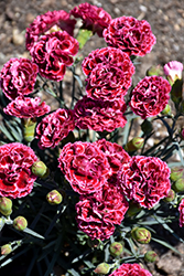 Fruit Punch® Cherry Vanilla Pinks (Dianthus 'Cherry Vanilla') at Rice Road Greenhouses