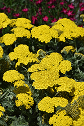 Little Moonshine Yarrow (Achillea 'ACBZ0002') at Rice Road Greenhouses